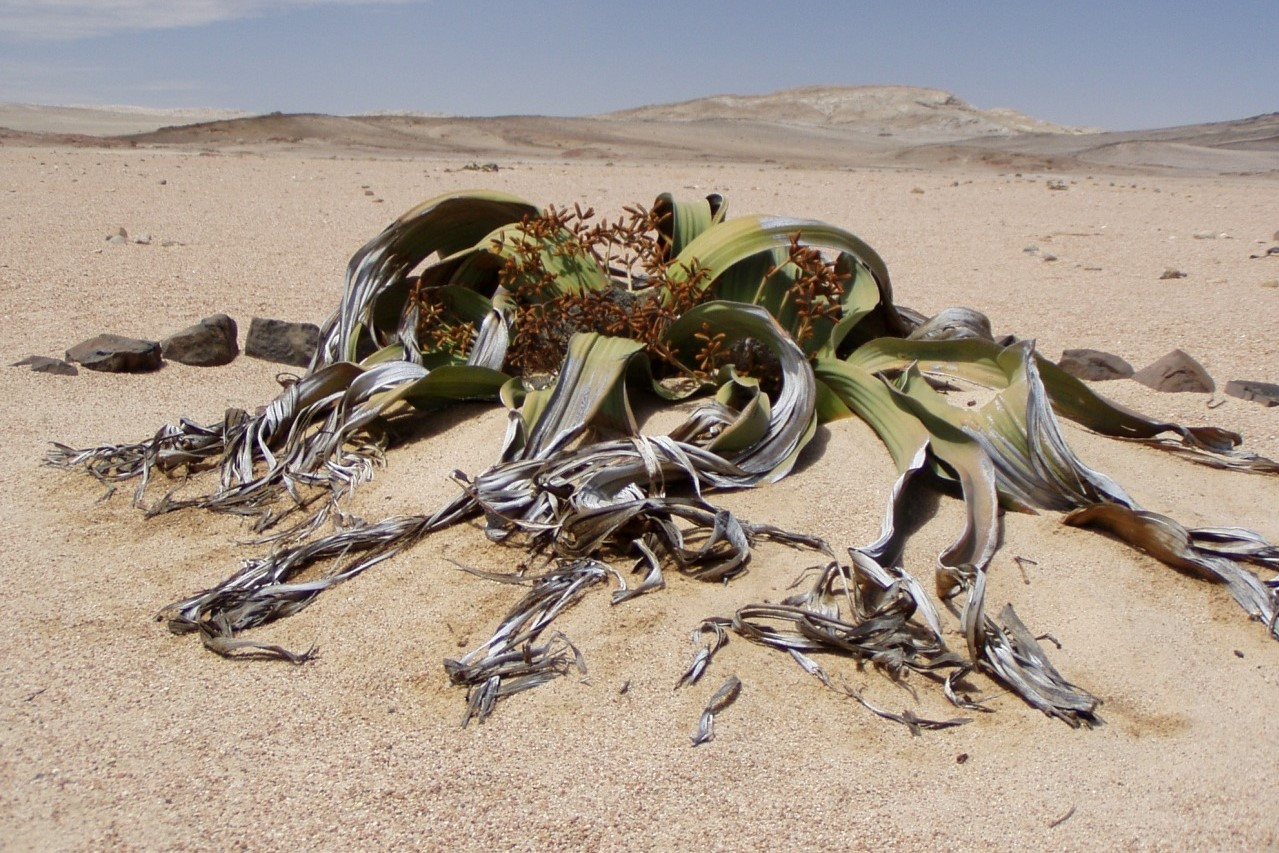 Welwitschia Drive | Attraction in Namibia | Destination Namibia